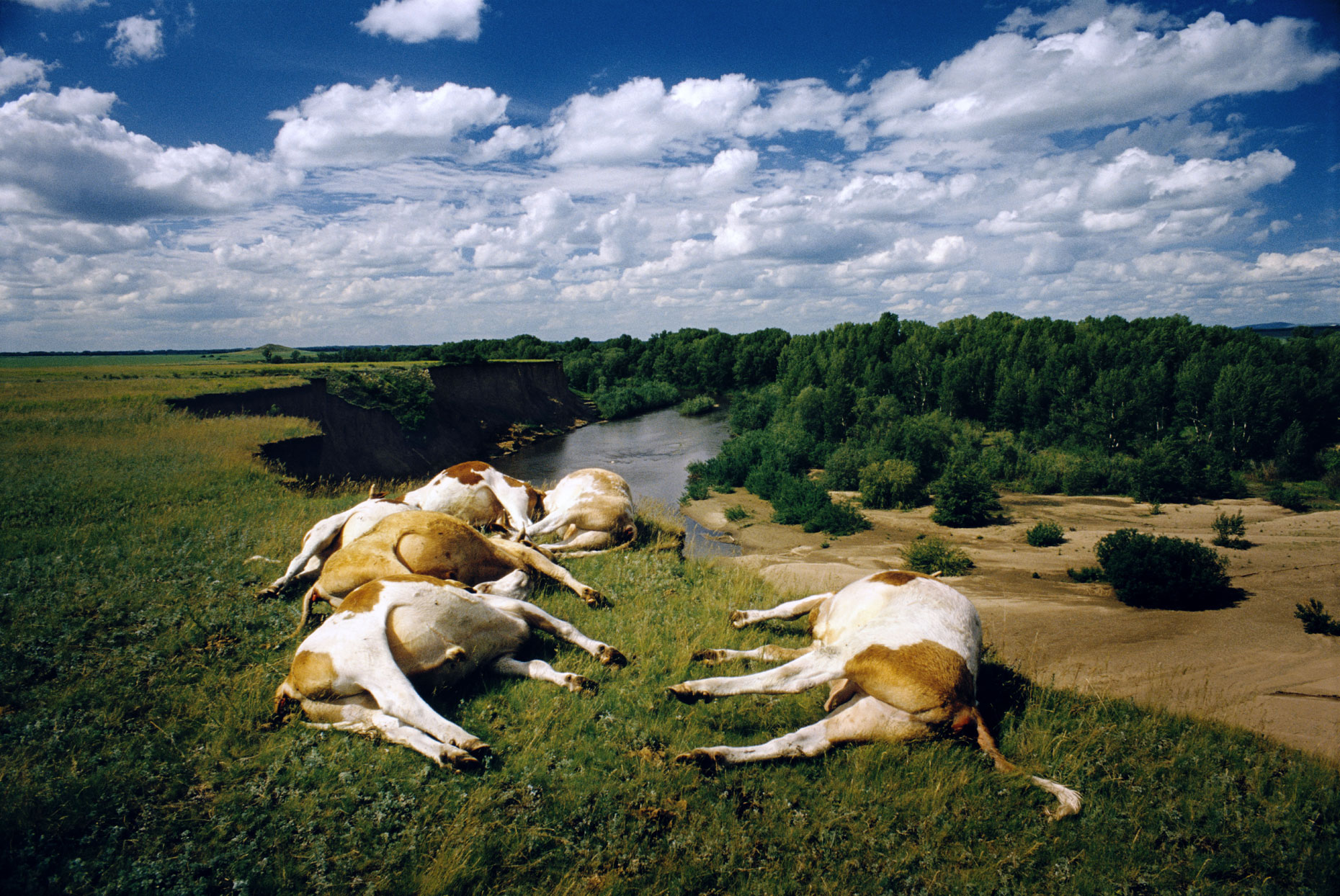 RUSSIA. Altai Territory. 2000. Dead cows lying on a cliff. The local population claim whole herds of cattle and sheep regularly die as a result of rocket fuel poisoned soil.